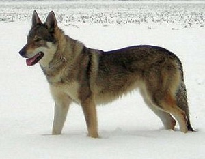 Desiree de la Blackwolfdog Compagnie