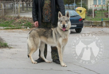 Ajda Black Sea Wolfdog / Айда Блек Сий Улфдог