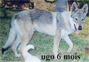 Ugo du Center Club Moloss Wolf